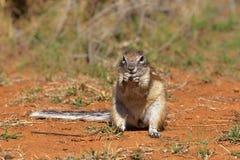 海角地松鼠或非洲地松鼠 免版税库存照片