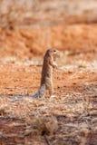海角地松鼠或非洲地面`灰鼠` (Xerus inauris) 非洲著名kanonkop山临近美丽如画的南春天葡萄园 图库摄影