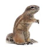海角地松鼠, Xerus inauris,突出 免版税库存照片