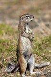 海角地松鼠 免版税库存图片