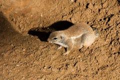 海角地松鼠 库存照片