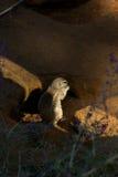 海角地松鼠 免版税库存照片