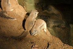 海角地松鼠 图库摄影