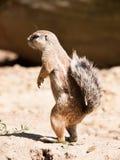 海角地松鼠- Xerus inauris -严密地观看邻里 库存照片