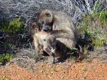 海角有婴孩的狒狒母亲 免版税库存图片