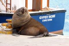 海角海狗和吉普赛罗斯 免版税库存图片