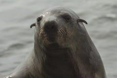 海角海狗,鲸湾港,纳米比亚 库存图片