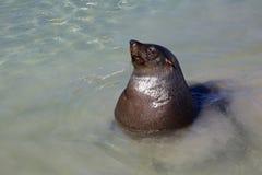 海角海狗 库存照片