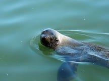 海角海狗 库存图片