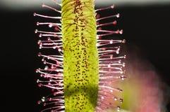 海角海角茅膏菜属植物sundew 库存图片