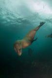 海角潜水在水中下的海狗 免版税库存图片