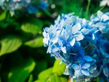 海角白花丹属在庭院里 库存照片
