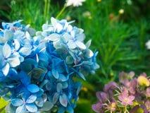 海角白花丹属在庭院里 免版税库存照片