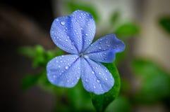 海角白花丹属石墨auriculata花  库存图片