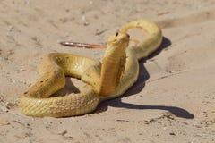 海角眼镜蛇 库存照片