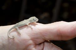 海角矮小的变色蜥蜴婴孩 库存图片