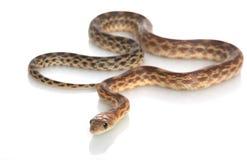 海角穴蛇 库存照片