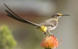 海角糖鸟,当尾巴被上升和显示黄色臀部 免版税库存照片