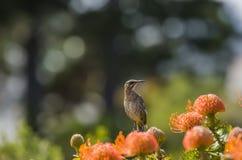 海角糖鸟,栖息在橙色花 免版税图库摄影