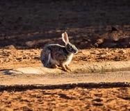 海角野兔 免版税图库摄影