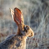 海角野兔 库存照片