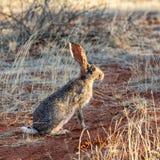 海角野兔 库存图片