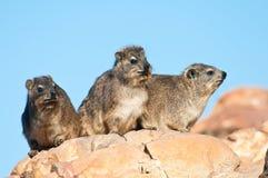 海角非洲蹄兔岩石开会 库存照片