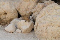 海角非洲蹄兔拉丁命名蹄兔属岩石 免版税库存照片
