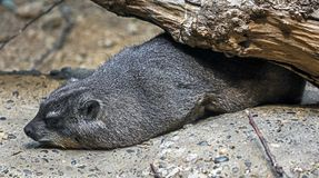 海角非洲蹄兔拉丁命名蹄兔属岩石 库存照片