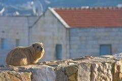 海角非洲蹄兔蹄兔属岩石日落 免版税库存图片