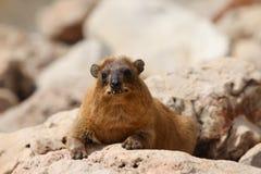 海角非洲蹄兔蹄兔属岩石 库存图片