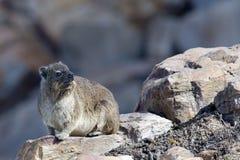 海角非洲蹄兔 免版税库存照片