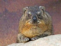 海角非洲蹄兔拉丁命名蹄兔属岩石 免版税库存图片