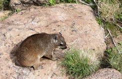 海角非洲蹄兔拉丁命名蹄兔属岩石 图库摄影