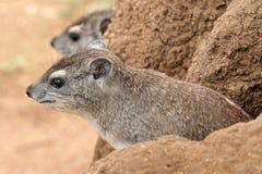 海角非洲蹄兔拉丁命名蹄兔属岩石 免版税图库摄影