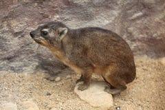 海角非洲蹄兔拉丁命名蹄兔属岩石 库存图片