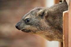 海角非洲蹄兔蹄兔属岩石 免版税库存照片
