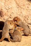 海角非洲蹄兔蹄兔属岩石 免版税库存图片