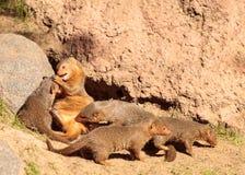 海角非洲蹄兔蹄兔属岩石 免版税图库摄影