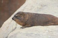 海角非洲蹄兔蹄兔属岩石 库存照片