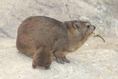 海角非洲蹄兔蹄兔属岩石 图库摄影