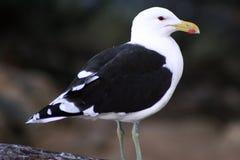 海角鸥海带 库存图片