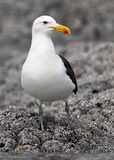 海角鸥 免版税库存图片