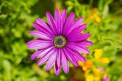 海角延命菊紫色花 库存图片