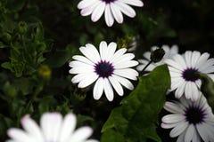 海角延命菊& x28; 非洲雏菊ecklonis& x29; 免版税库存图片