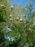 海角织布工的巢 免版税库存照片