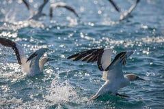 海角从水的Gannets起飞 库存图片