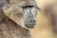 海角babboon哺养 免版税图库摄影