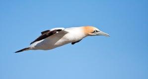 海角gannet 库存照片