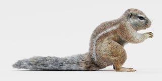 海角Squirrrel 皇族释放例证